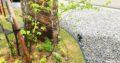 【我が家の植栽】我が家の下草たち。春なのに枯れ葉?不思議な植物・ヤマコウバシ。